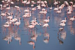 Greater flamingos at Walvis Bay in Namibia. Most of the greater flamingo`s plumage is pinkish white, but the wing coverts are red and the primary and secondary stock photos