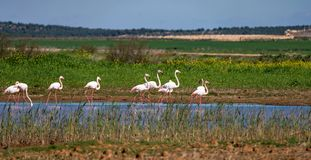 Greater Flamingos in wetlands of Campillos lagoons in Malaga. Spain. royalty free stock images
