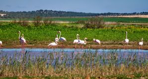 Greater Flamingos in wetlands of Campillos lagoons in Malaga. Spain. stock photography