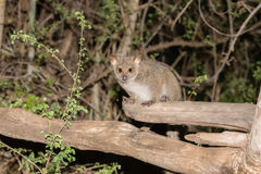 Greater Galago Otolemur garnettii in the Bush at Night. In Nortern Tanzania Stock Photo