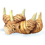 Greater galangal root isolated, watercolor illustration on white Royalty Free Stock Image