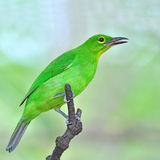 Greater green leafbird Royalty Free Stock Image