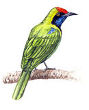 Greater Green Leafbird Royalty Free Stock Photos