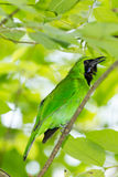 Greater Green Leafbird Royalty Free Stock Photography