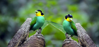 Greater Green leafbirds Stock Photo