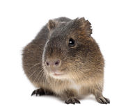 Greater guinea pig, Cavia magna Royalty Free Stock Photo