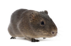 Greater guinea pig, Cavia magna Royalty Free Stock Photography