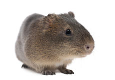 Greater guinea pig, Cavia magna. Against white background stock photo