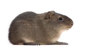 Greater guinea pig, Cavia magna Stock Photo