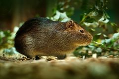 Greater Guinea Pig, Cavia magna, wild rare mouse in the nature habitat. Mouse in green tropic forest. Greater Guinea Pig from Arge Royalty Free Stock Photo