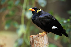 Greater Hill Mynah Royalty Free Stock Images