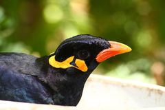 Greater hill mynah, gracula religiosa Stock Photography