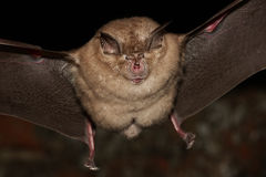 Greater horseshoe bat flight Stock Photos