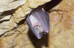 Greater horseshoe bat( Rhinolophus ferrumequinum) Stock Images