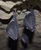 Greater horseshoe bat( Rhinolophus ferrumequinum) Royalty Free Stock Image