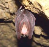 Greater horseshoe bat( Rhinolophus ferrumequinum) Royalty Free Stock Photography