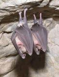 Greater horseshoe bat( Rhinolophus ferrumequinum) Royalty Free Stock Image