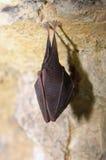 Greater horseshoe bat( Rhinolophus ferrumequinum) Royalty Free Stock Photo