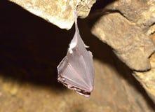 Greater horseshoe bat( Rhinolophus ferrumequinum) Stock Photography