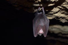 Greater horseshoe bat( Rhinolophus ferrumequinum) Royalty Free Stock Photography