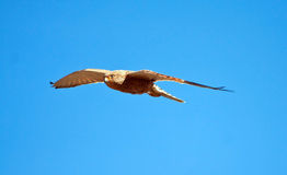 Greater Kestrel Stock Photography