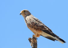 Greater Kestrel Stock Photo