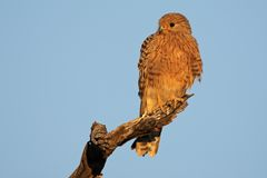 Greater kestrel Royalty Free Stock Photo