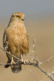 Greater kestrel. Common resident.  Rufous coloration with black streaks. Yellow legs. Singly or in pairs in grassland or lighty wooded tornveld, especially arid Royalty Free Stock Image