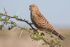 Greater kestrel on an acacia tree in Etosha National Park, Namib. Greater or white-eyed kestrel sitting on an acacia tree in Etosha National Park, Namibia Stock Photography