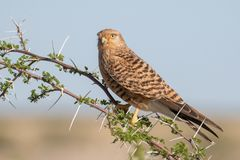 Greater kestrel on an acacia tree in Etosha National Park, Namib. Greater or white-eyed kestrel sitting on an acacia tree in Etosha National Park, Namibia Stock Image