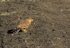 Greater Kestrel eating a dragonfly. On the ground royalty free stock photography