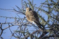 Greater kestrel (Falco rupicoloides)  in Etosha national park, Namibia Royalty Free Stock Images