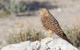 Greater kestrel (Falco rupicoloides) Royalty Free Stock Image