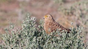 Greater kestrel (Falco rupicoloides) Royalty Free Stock Images