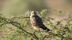 Greater kestrel perched on a tree stock video footage