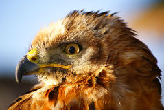 Greater Kestrel profile Stock Photos
