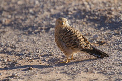 Greater kestrel sitting on a road in the Kalahari Stock Photos