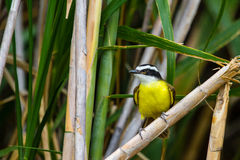 Greater Kiskadee Stock Photo