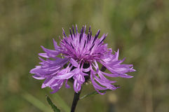 Greater Knapweed - Centaurea scabiosa Stock Photo