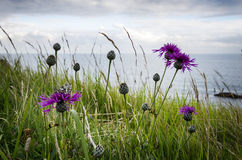 Greater Knapweed. (Centaurea scabiosa) growing along the Dorset coast path, a purple thistle-like plant that can be found on chalk downlands and is often grown Stock Images
