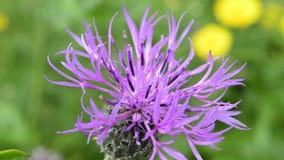 Greater Knapweed, Centaurea scabiosa stock video