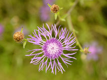 Greater Knapweed flower Stock Photo