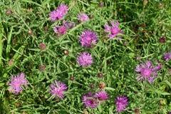Greater knapweed flowers Stock Photo