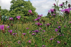 Greater knapweed flowers Stock Photos