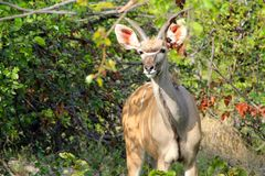 Greater Kudu Royalty Free Stock Photo