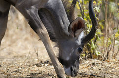 Greater kudu. In Ruaha NP, Tanzania Stock Image