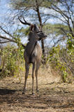 Greater kudu. In Ruaha NP, Tanzania Royalty Free Stock Images