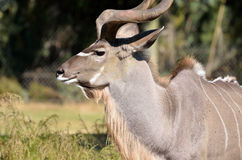 Greater Kudu stock photography