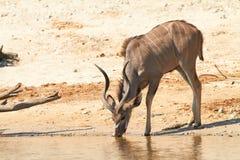 Free Greater Kudu Stock Photography - 31504952
