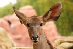 Free Greater Kudu Royalty Free Stock Photography - 3281947